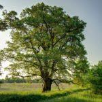 Baum des Jahres 2019 Flatterulme Baum